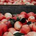 一場關於蘋果的「唇槍舌戰」