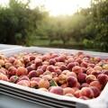 一年只賣三個月,三天就腐爛的產品怎麼賺錢?看美國這家水蜜桃公司,如何將稍縱即逝的美味變現